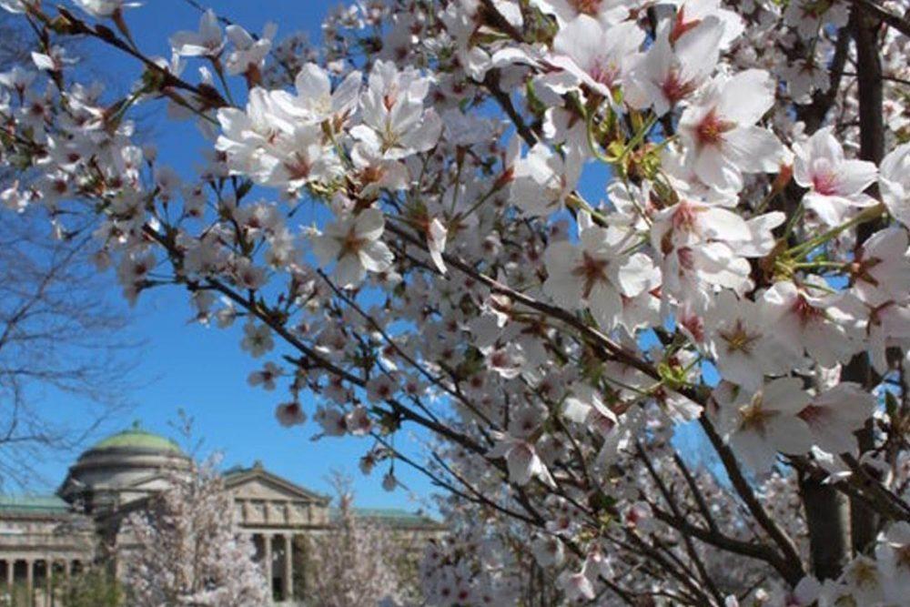 Garden Phoenix 2021 0001 2018 Cherry Trees In The Garden Of The Phoenix Courtesy Of The Garden Of The Phoenix Foundatio